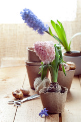 Hyacinth flowers in peat pots, flower bulbs and gardening tools