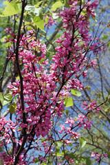 Rama de árbol ornamental en flor, Muela, Hurdes, España