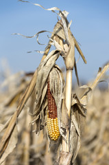Unharvested Corn Cob in Spring