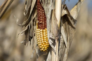 Unharvested Field Corn in Spring
