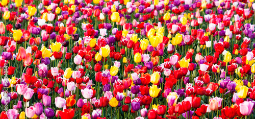 Tulips Field Red Yellow Purple Bulbs Flowers Tulip Farm