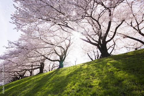 Plakat ソメイヨシノ 桜並木