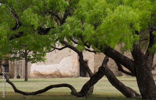 Patriarch Anacua tree in the front yard of mission San Jose