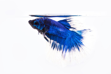 betta, siamese fighting fish i