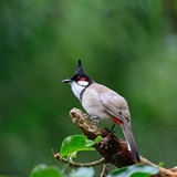 Red-whiskered Bulbul poster