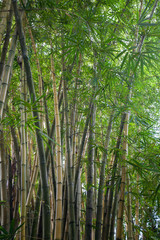 Thickets of bamboo