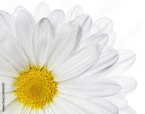 Chamomile flower isolated on white. Daisy. Macro