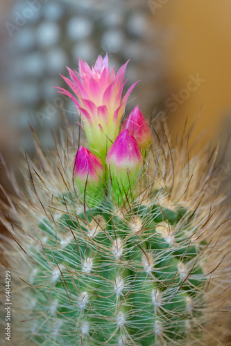 cactus with pink flowers