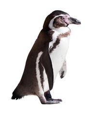 Humboldt penguin on white background