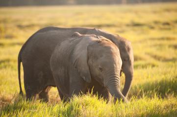 Young African elephant in Amboseli, Kenya