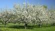 Apfelblüte, Wiese in Deutschland