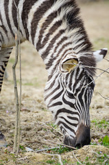 Zebra - Equus quagga eating