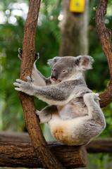 痒いコアラ
