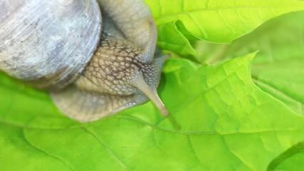 Schnecke auf einem grünen Blatt