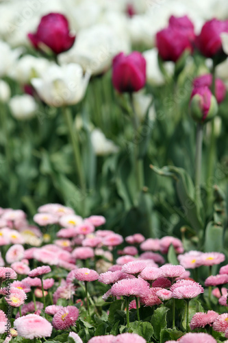 daisy and tulip flower nature background