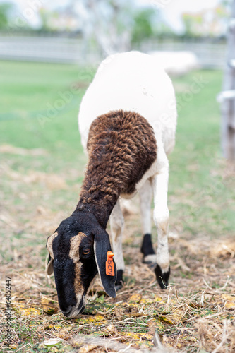 Goat eating dry straw