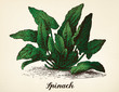 Spinach vintage illustration vector