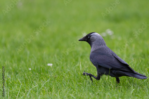the walk of the Jackdaw
