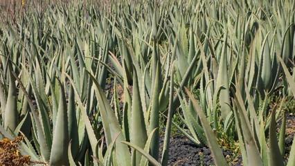 Plantación De Aloe Vera. Islas Canarias