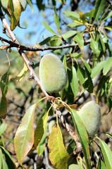 Unripe Prune