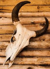 skull of bull