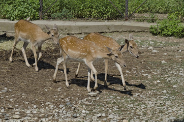 Four roes and one baby about rack in zoo Sofia, Bulgaria