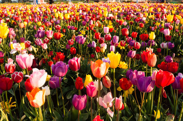 Neat Rows Tulips Colorful Flower Petals Farmer's Bulb Farm