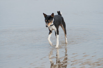 old black basenji paddling