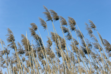 Reed on wind over blue sky