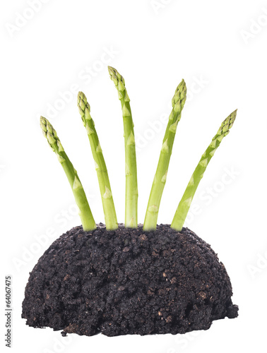 Green asparagus in garden ground, isolated