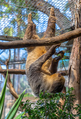 Sloth hanging on a tree in its cage