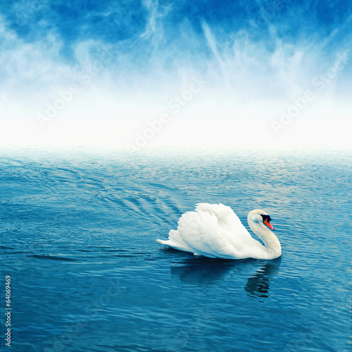 Mute swan floating on water