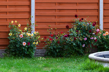 Domestic garden dahlia flowers and fence spring time
