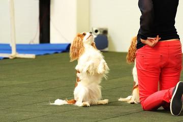 dogdancing cavalier king charles spaniel dog