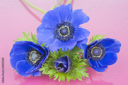 Four blue Anemones on a pink background