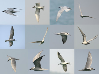 Set of Seagull flying in the sky