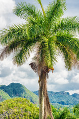 The Vinales Valley in Cuba with a  royal palm tree