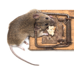 mouse mousetrap on a white background