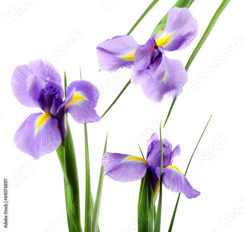 Beautiful iris flower isolated on white