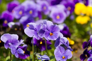 Viola flowers field
