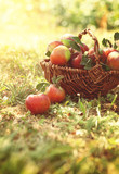 Organic apples in summer grass