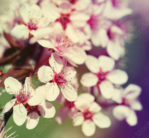 Cherry Blossom. Sakura in Springtime.