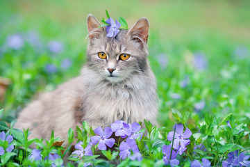Cute siberian cat sitting on the periwinkle lawn
