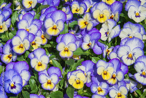 Tuinposter Pansies Pansy flowers nature background