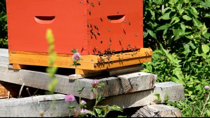 Panoramic shot of two beehives, bees swarming
