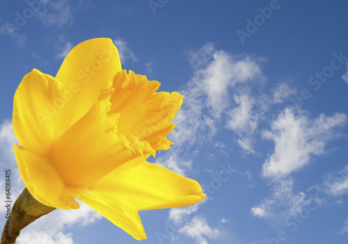 Bright yellow daffodil on blue sky background
