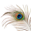 Beautiful feather of a peacock isolated on white