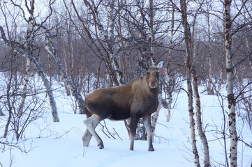 Moose in the snow on Kungsleden trail, Sweden.