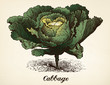 Cabbage vintage illustration vector