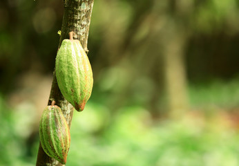 green cocoa fruits gorw on tree